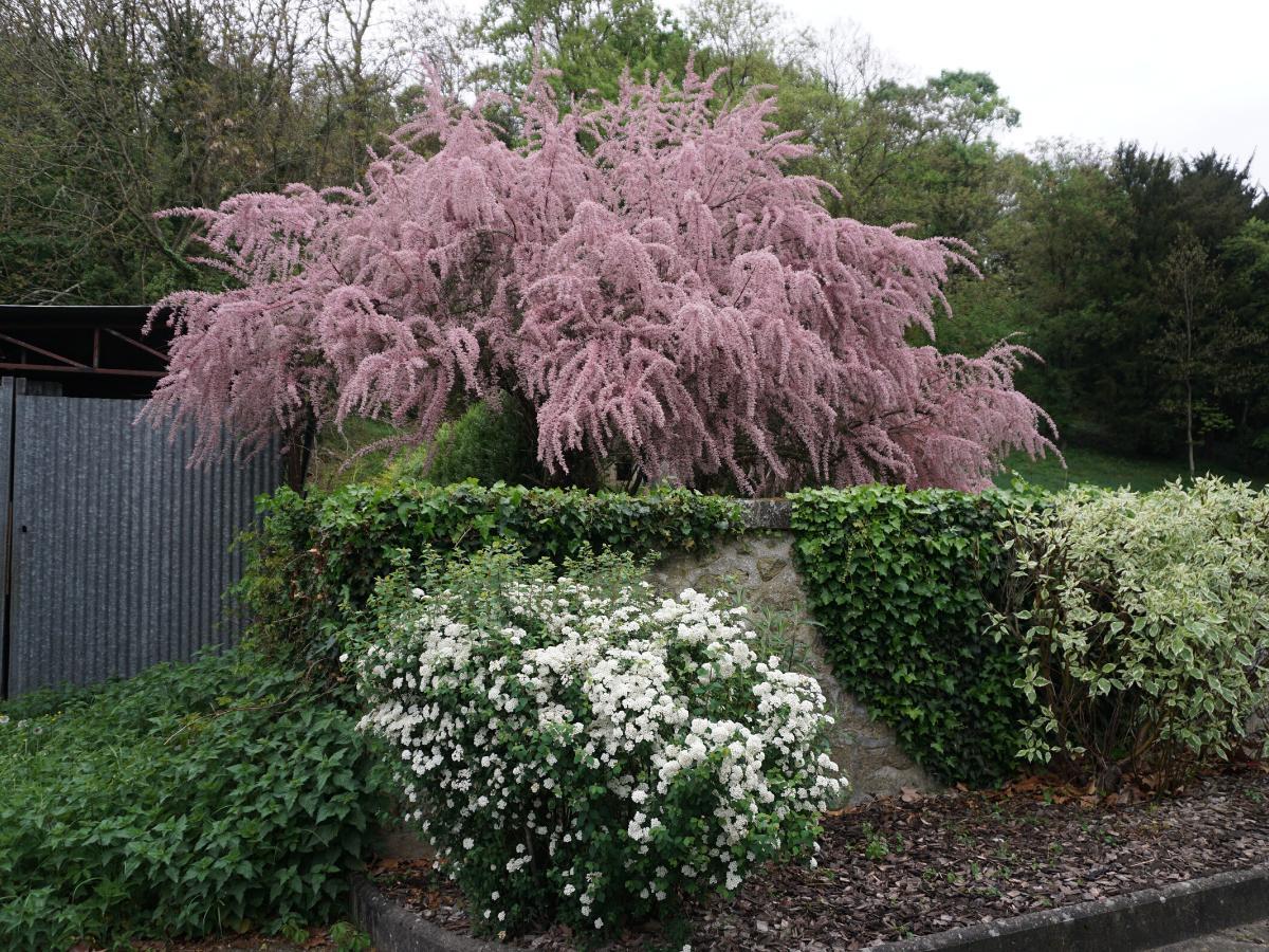 Kwitnący krzew - tamaryszek