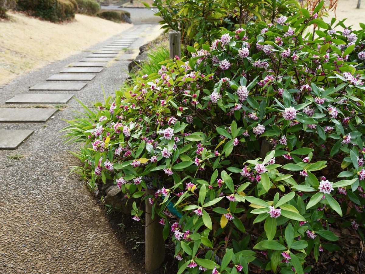 Wawrzynek - krzew ozdobny do ogrodu