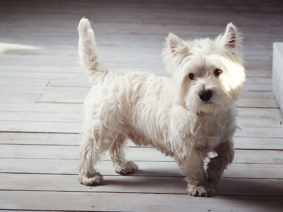 west highland white terrier choroby