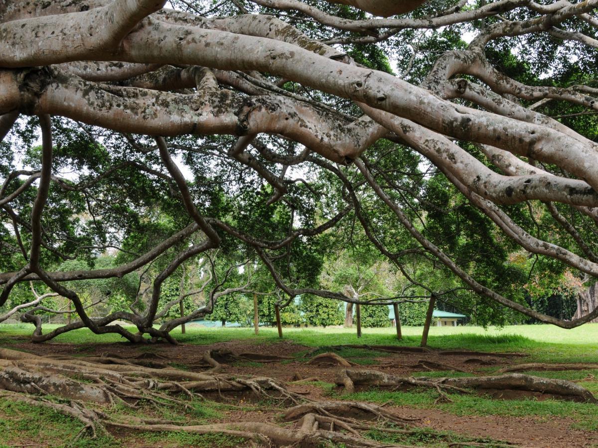 Figowiec benjamina w naturalnym środowisku