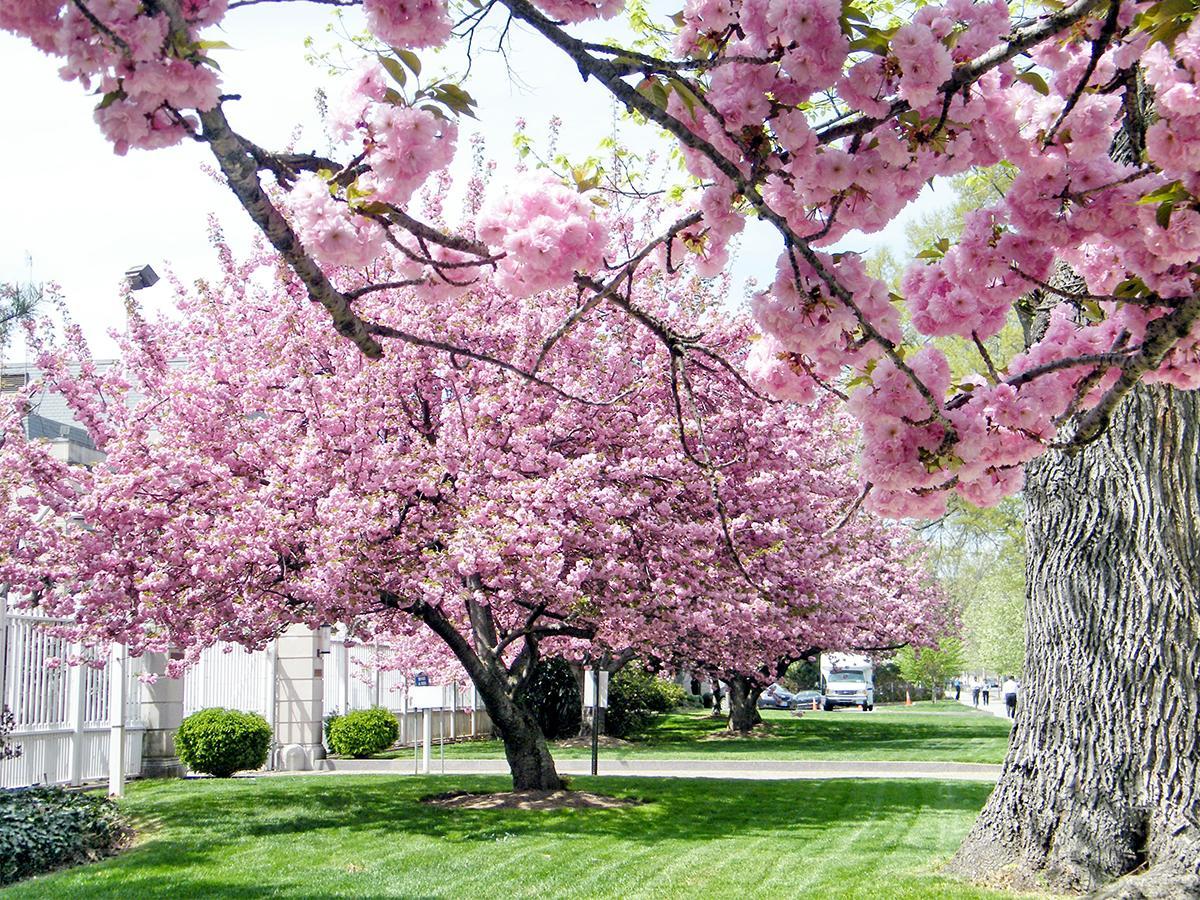drzewa ozdobne niewysokie do ogrodu