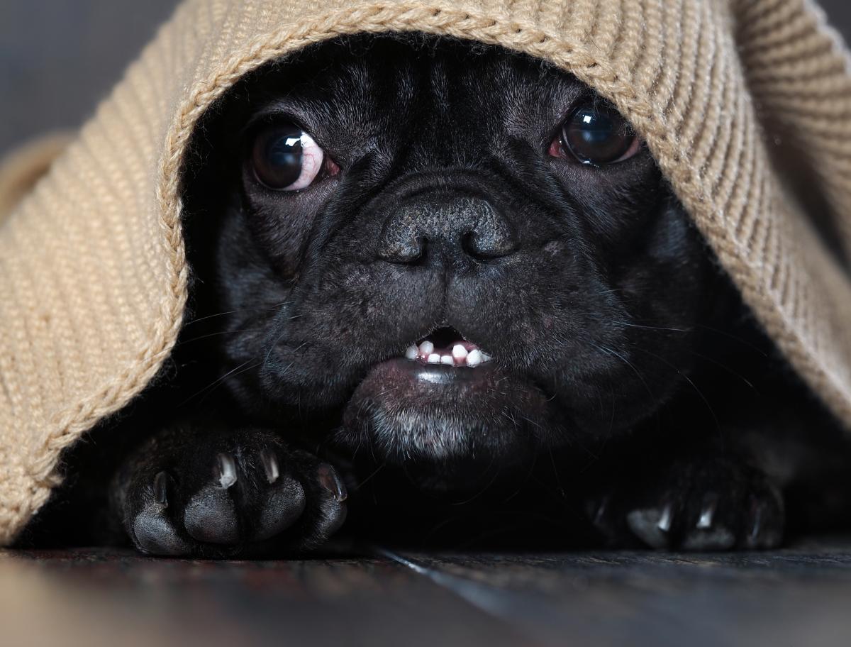 Pies schowany pod kocem