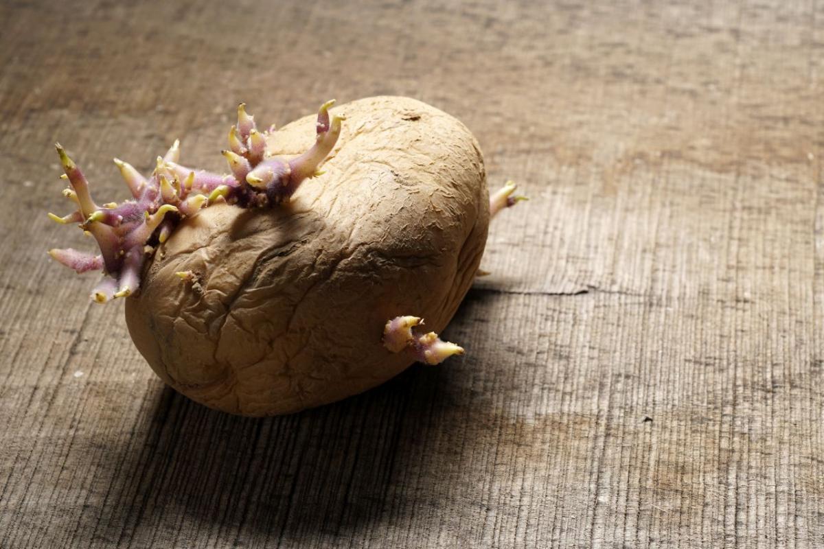 ziemniak z pędami