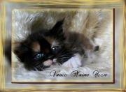 Koty, kotki i kocieta Maine Coon - Hodowla Vanco