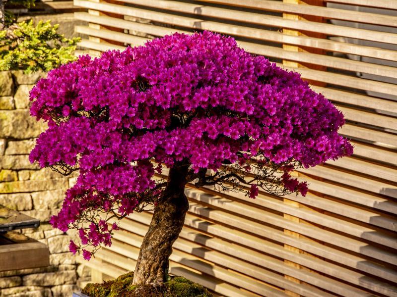 azalie na pniu bonsai