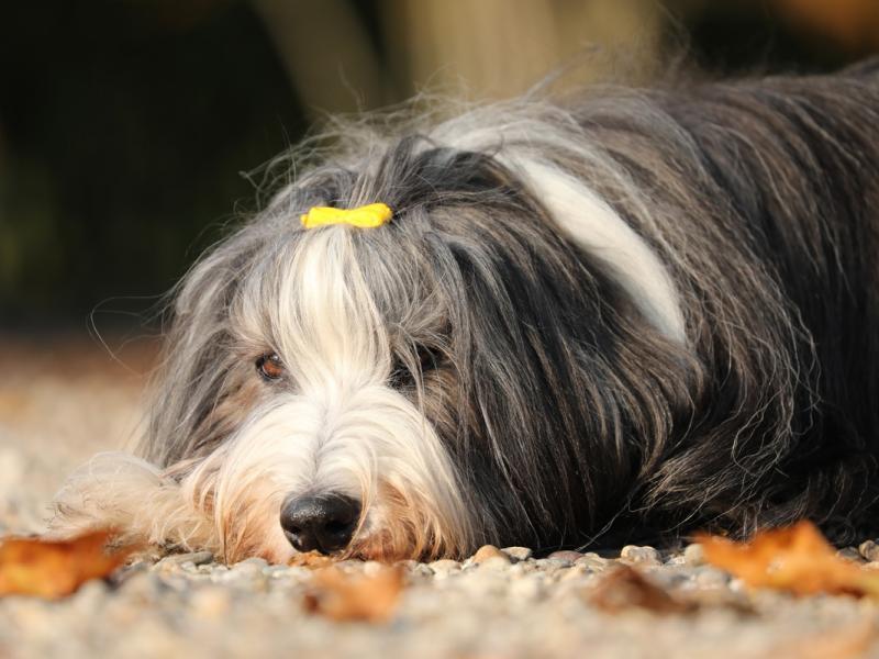Psy Z Włosami 7 Najciekawszych Ras Zwierzęta Polkipl