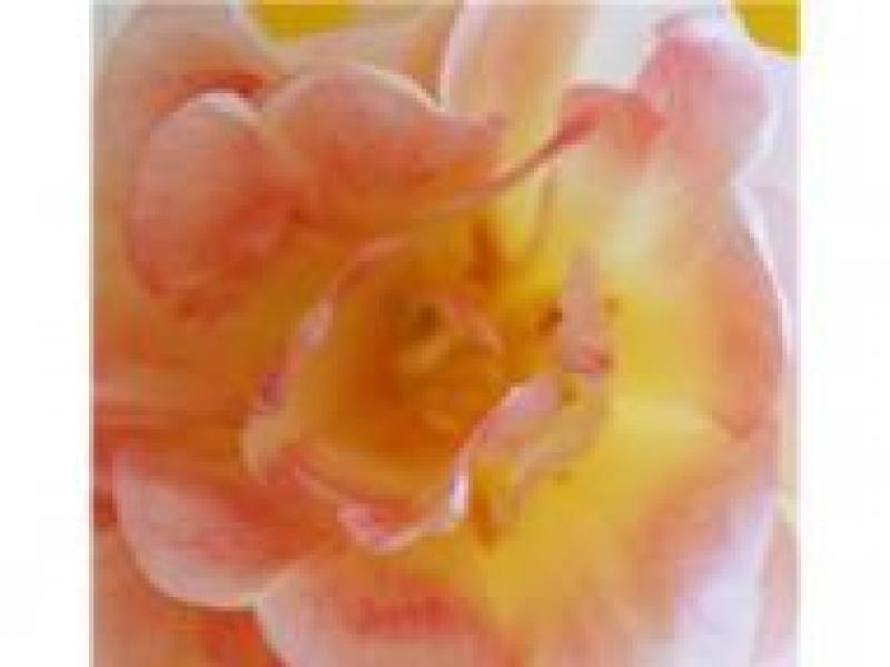 Czy wiesz jak przygotować specyfiki z dzikiej róży?