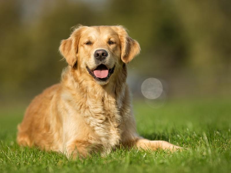 Fantastyczny Czy golden retriever to pies dla ciebie? Poznaj najważniejsze OY48