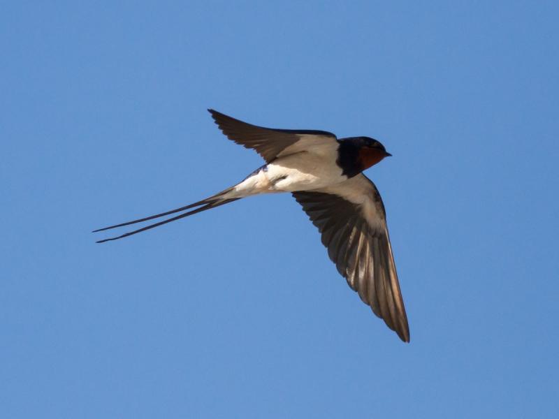 ptaki które przylatują na wiosnę do Polski - jaskółka