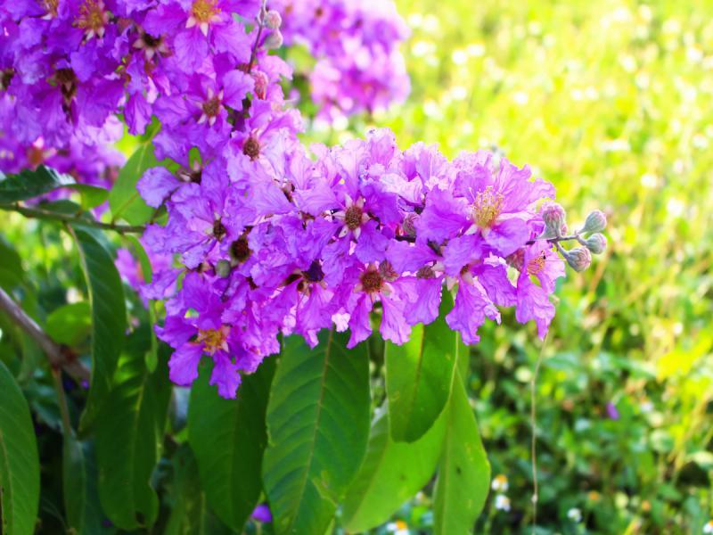 kwiaty podobne do bzu lagerstremia