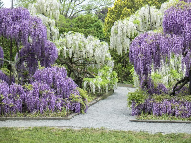 kwiaty podobne do bzu, wisteria