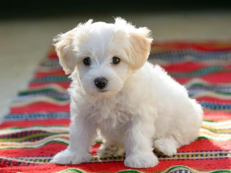 Małe Psy Które Nie Linieją Oto Kilka Ras Które Możesz Wybrać