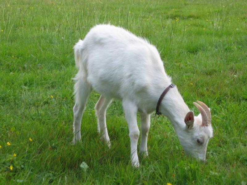 Kubek mleka koziego dostarcza pokrywa 17% dziennego zapotrzebowania na białko i 33% zapotrzebowania na wapń.