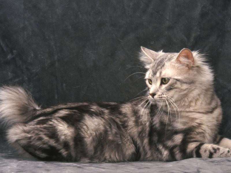 Największy Kot Domowy 10 Ras Które Są Naprawdę Olbrzymie