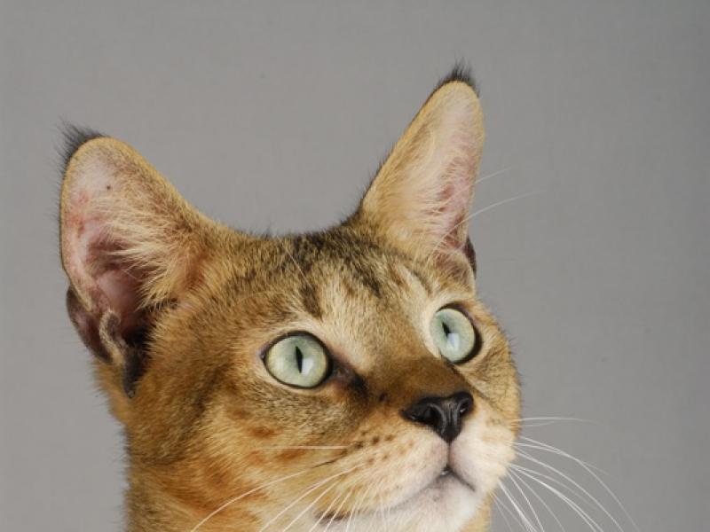 Kot Friza Jaka Rasa