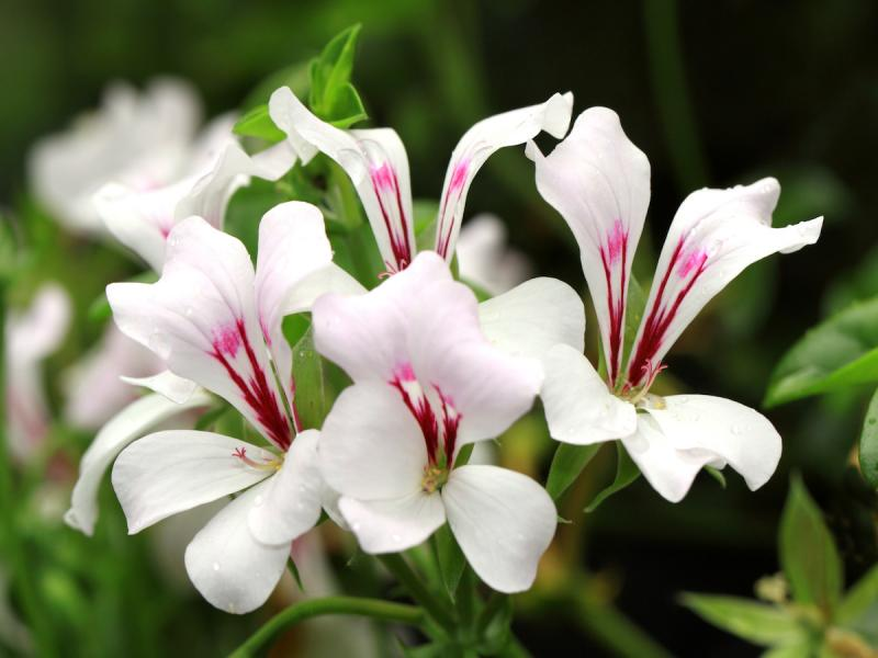pelargonia kaskadowa biała