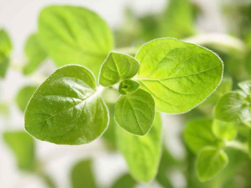 Oregano – zioło, które leczy