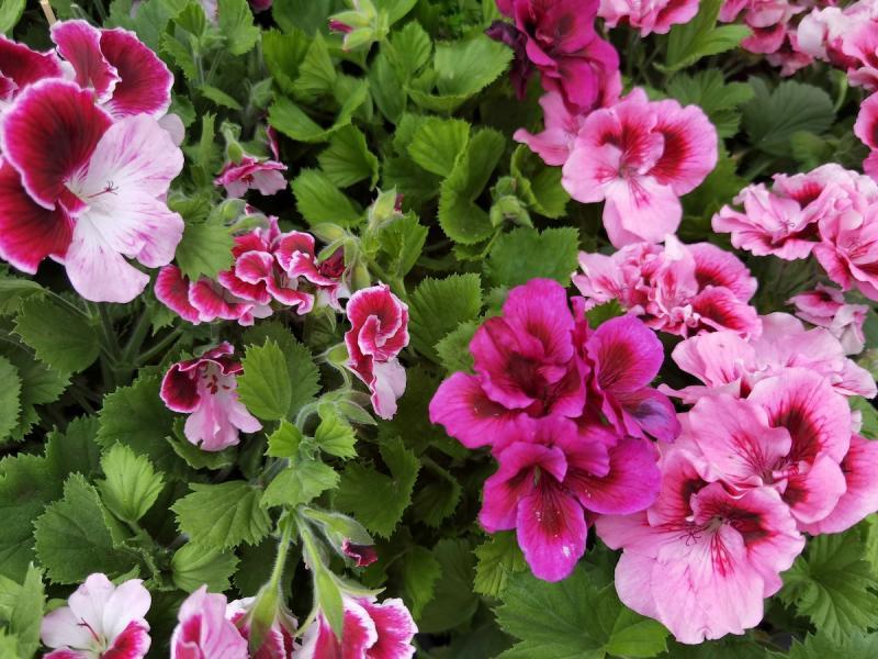 pelagonia angielska różowa