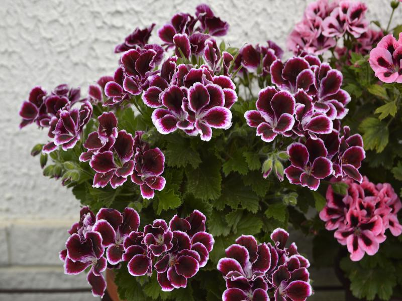 pelargonia angielska, black beauty