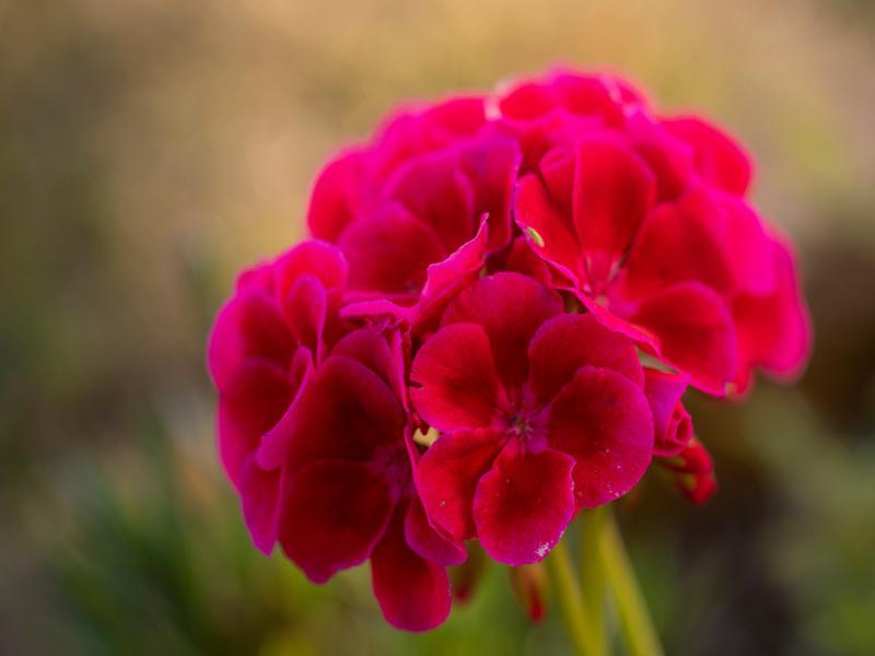 pelargonia calliope różowa