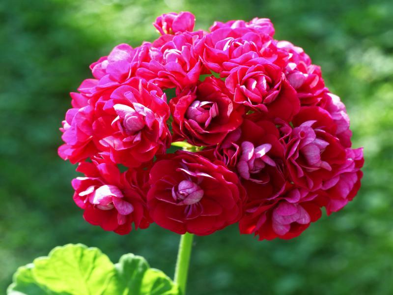 pelargonia rabatowa, różowa