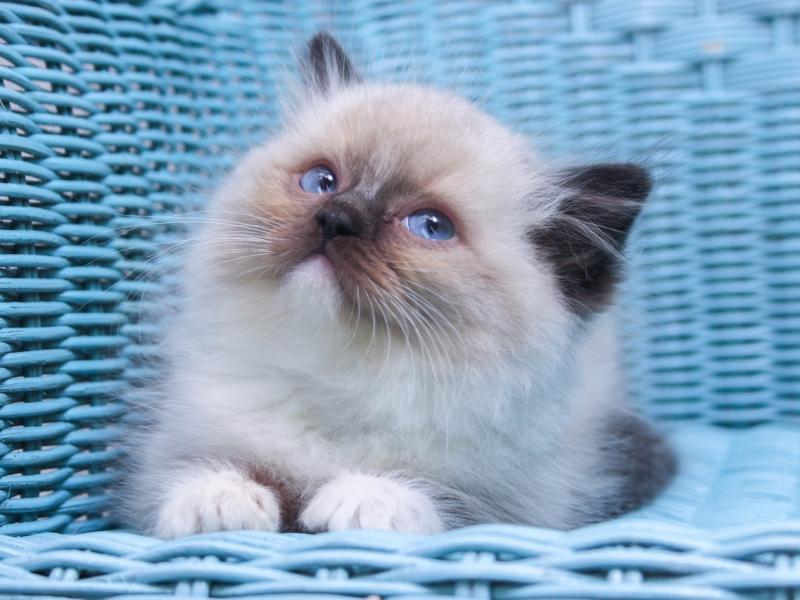 Rasy Kotów Perski Syjamski Kor Rosyjski Norweski Leśny