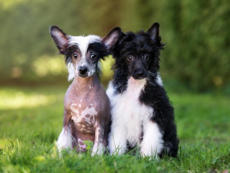 Rasy Psów Małych Idealne Do Mieszkania Może Tutaj Znajdziesz