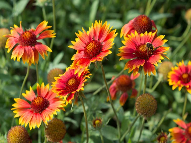 rośliny niewymagające podlewania, Gailardia oścista