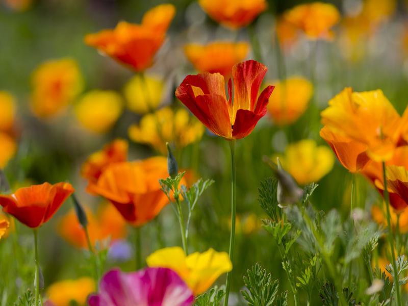 rośliny niewymagające podlewania, maczek kalifornijski