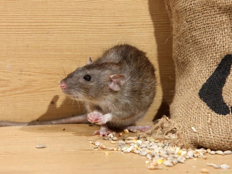 Co Oznacza Sen W Którym Pojawia Się Szczur Co Symbolizuje