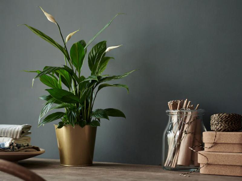 kwiaty Ikea: skrzydłokwiat