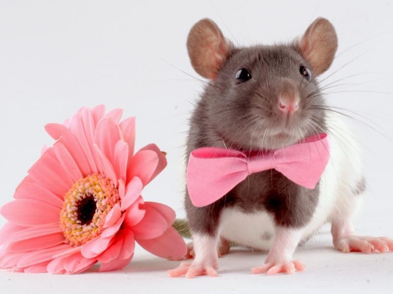 Randka ze szczurem 2