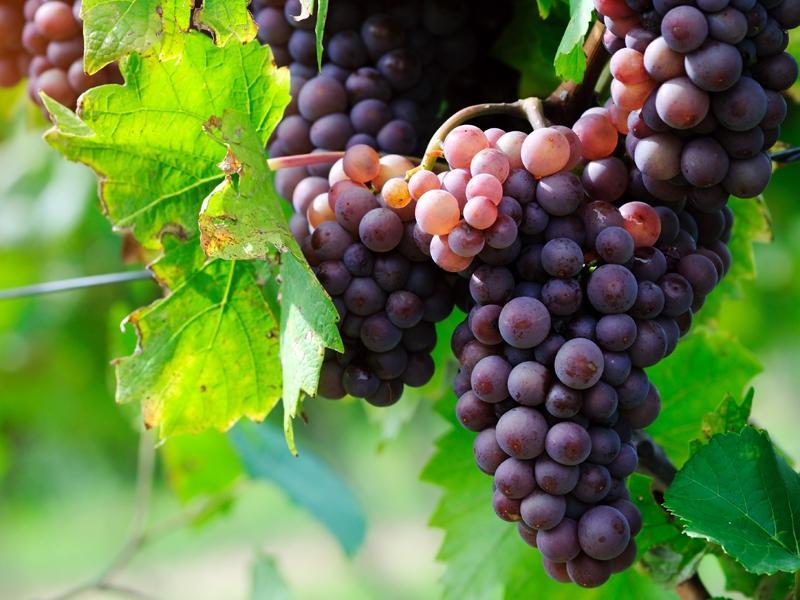 Wino z winogron domowej roboty