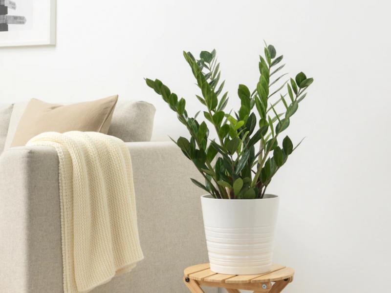 Zamiokulkas kwiaty Ikea