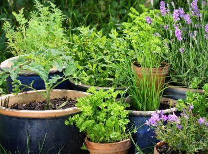 10 ziół, które warto mieć w ogrodzie. Możesz je posadzić także na balkonie!