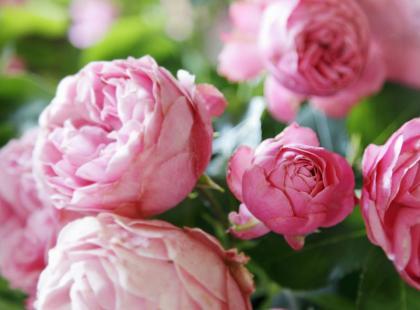 3 porady - jak hodować róże?
