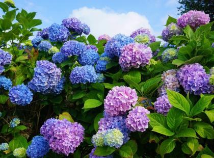 3 sztuczki, które sprawią, że kwiaty hortensji zmienią kolor