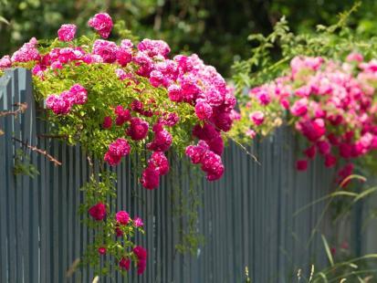 5 kwitnących pnączy do ogrodu, które warto mieć latem