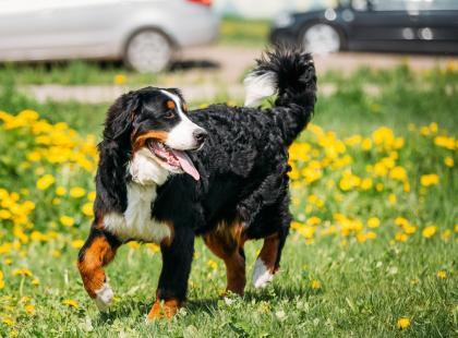5 najpopularniejszych ras psów w Polsce: ranking według Związku Kynologicznego
