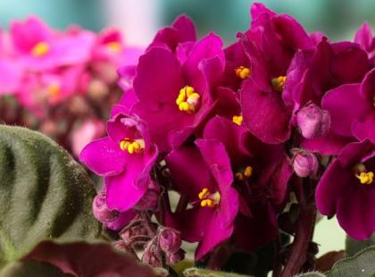 5 powodów, dlaczego fiołek afrykański nie kwitnie