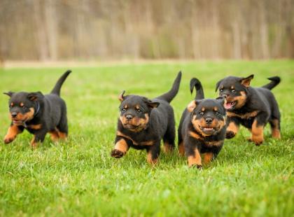 5 rad, jak oduczyć rottweilera agresji