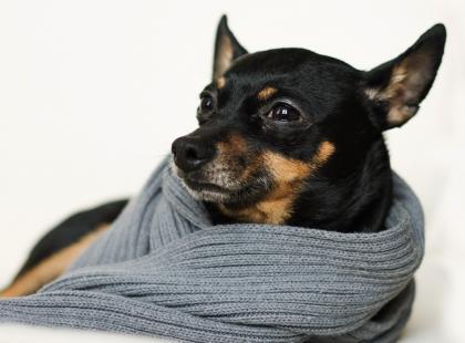 5 rad jak wychować pinczera na grzecznego psa