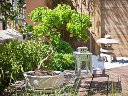 5 zasad pielęgnacji bonsai