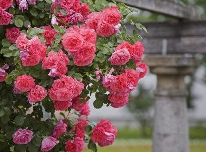 6 rodzajów róż do Twojego ogrodu