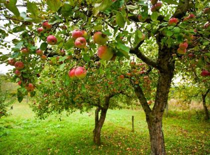 7 drzewek owocowych do Twojego sadu