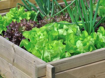 7 najpopularniejszych odmian sałaty