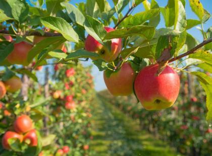7 odmian jabłek godnych polecenia