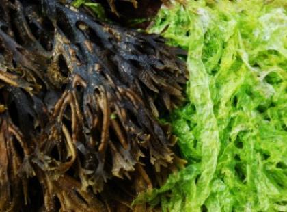 Algi morskie
