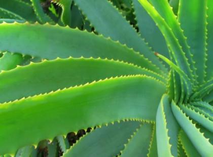 Aloes - Panaceum naszych czasów