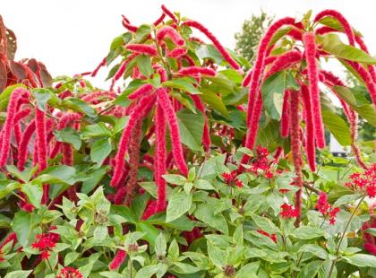Amarantus – zdrowe pseudozboże